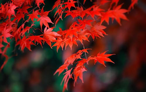 Japanese Maple (Acer palmatum 'Atropurpureum')