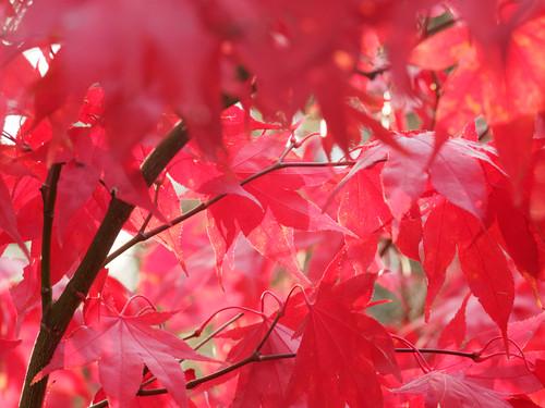 Osakazuki Japanese Maple (Acer palmatum 'Osakazuki')