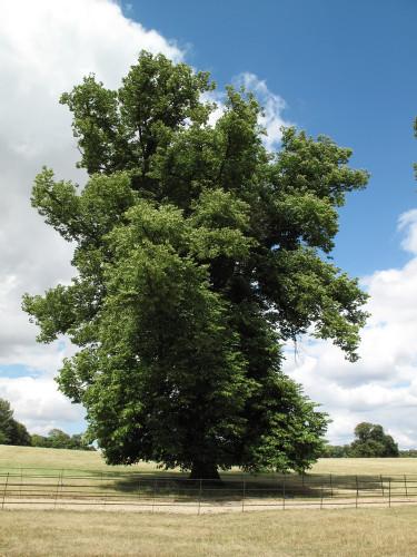 English Elm (Ulmus procera)
