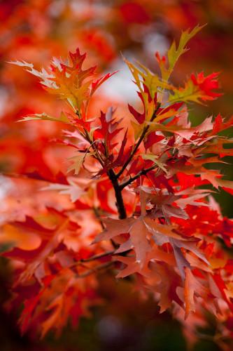 Green Pillar (R) Pin Oak (Quercus palusrtris 'Pringreen')
