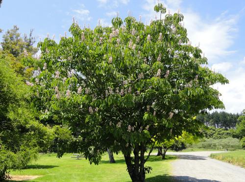 Indian Horse Chestnut (Aesculus indica)