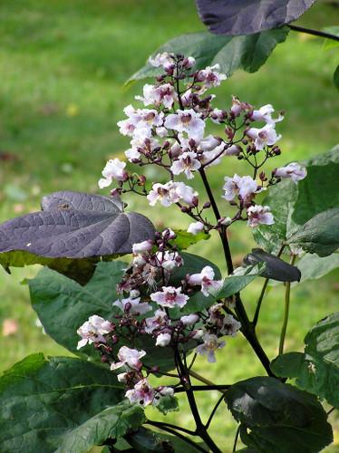 Purple Bean Tree (Catalpa bignonioides 'Purpurea')