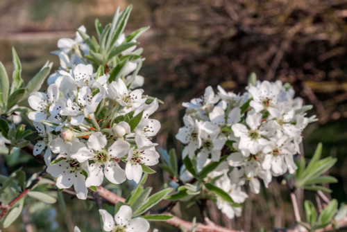 Weeping Silver Pear or Willow-leaved Pear (Pyrus salicifolia)