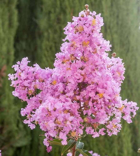 Lipan Crepe Myrtle (Lagerstroemia indica x L. fauriei 'Lipan')