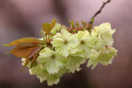 Prunus serrulata 'Ukon' Flowering Cherry