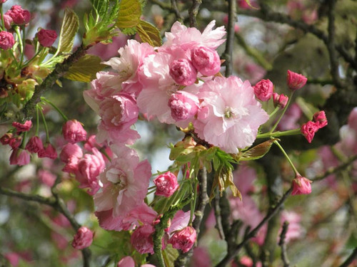 Pink Perfection Flowering Cherry