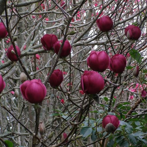 Black Tulip™ Magnolia