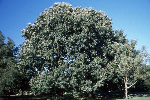 Chestnut-leafed Oak (Quercus castaneifolia)