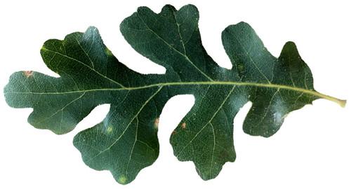 Californian White Oak Seedling (Quercus lobata)