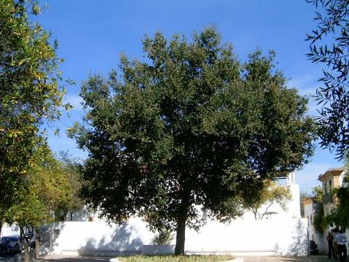 Portugal Oak (Quercus lusitanica)
