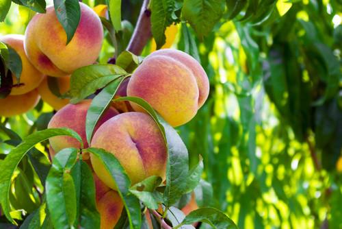 White Gold™ Peach (dwarf)