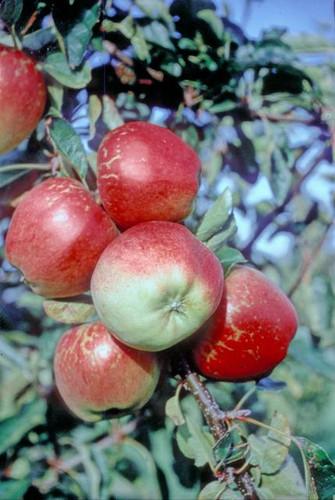 Kidd's Orange Red Apple (super-dwarf)