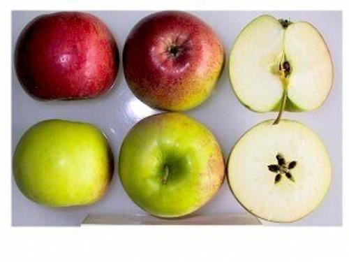 Rome Beauty Apple (super-dwarf)