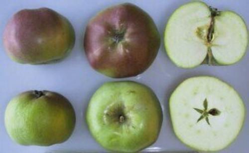 Five Crown (London Pippin) Apple (super-dwarf)