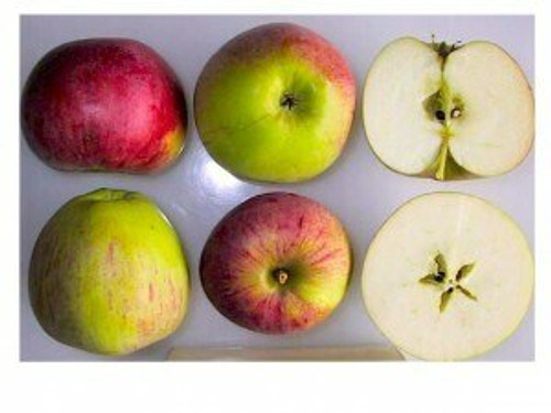 Peasgood's Nonsuch Apple (super-dwarf)