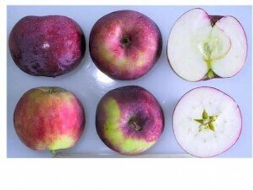 Vista Bella Apple (super-dwarf)