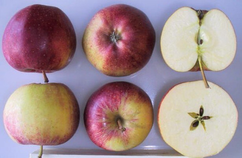 Royal Gala Apple (super-dwarf)