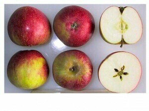 Worcester Pearmain Apple (super-dwarf)