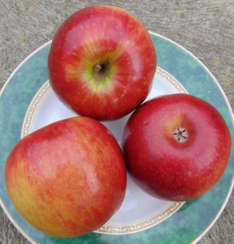 Sundowner™ (Cripp's Red) Apple (super-dwarf)