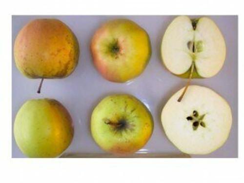 Golden Delicious Apple (super-dwarf)