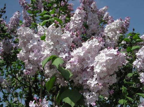 Clarke's Giant Lilac