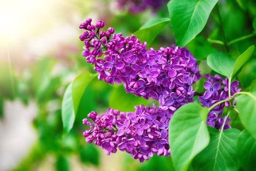 Missimo Lilac