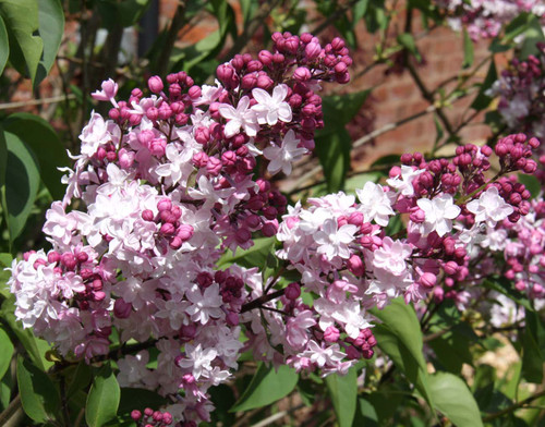 Sweatheart Lilac