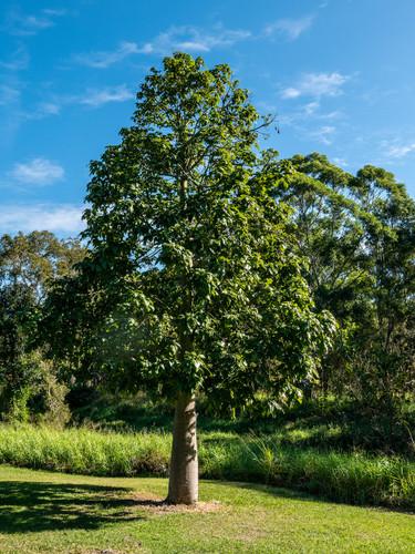 Illawarra Flame Tree (Brachychiton acerifolius)