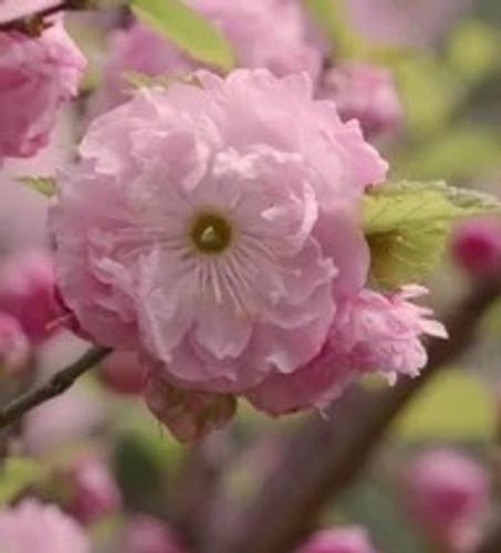 Prunus dulcis 'Roseoplena' Flowering Almond Double Pink