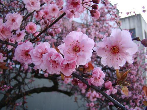 Prunus x blireiana Flowering Plum