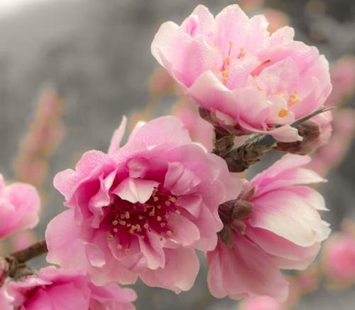 Prunus persica 'Bonita Joy' Flowering Peach