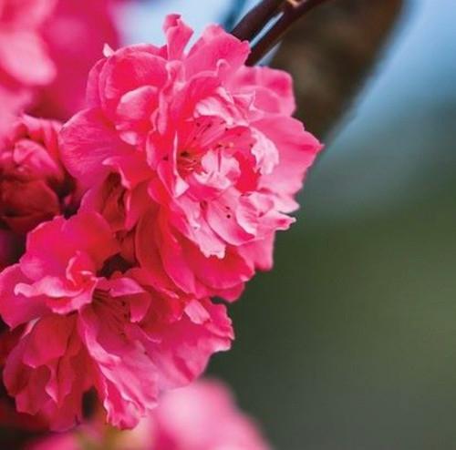 Prunus persica 'Magnifica' Flowering Peach