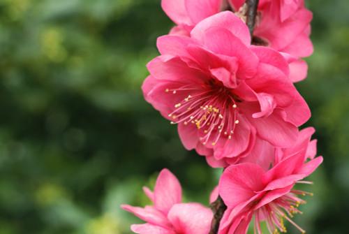 Prunus persica 'Rose Charm' (weeper)