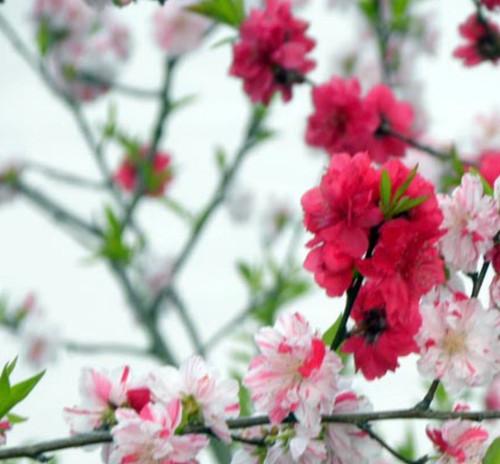Prunus persica 'Versicolor' Flowering Peach