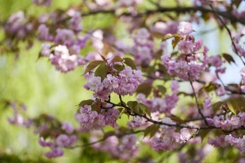 Prunus serrulata 'Shimidsu Sakura' (semi-weeper)
