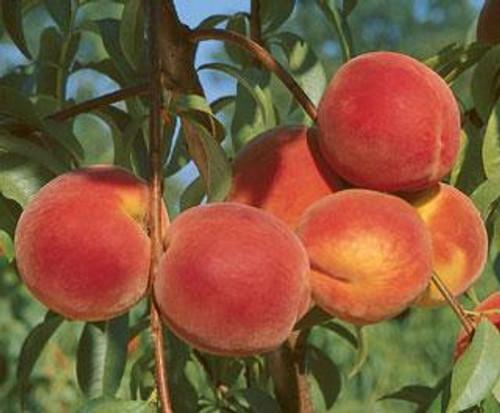 Loring Peach