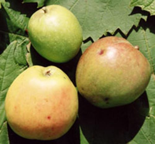 Cremiere Apple (medium)