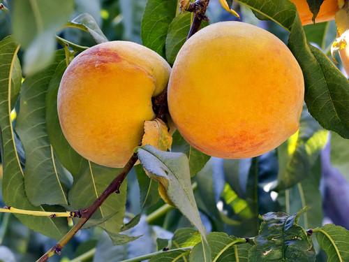 Silvan Sunset™ Peach (dwarf)