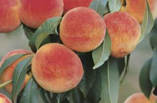 Stark Earliglo™ Peach