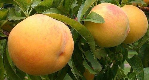 Tatura 204 Peach