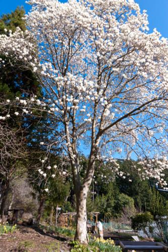 Kobushi Magnolia (M. kobus)