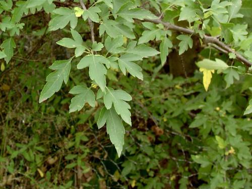 Cut-leaf Crabapple (Malus toringoides)
