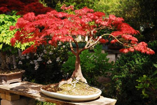 BONSAI form Japanese Maple