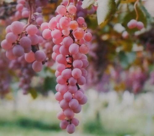 Pink Sultana Seedless Grape