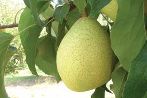 Ya Li Nashi (Asian Pear)