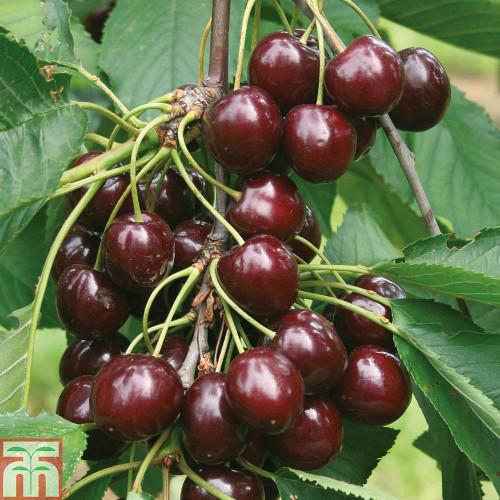 Sunburst Cherry