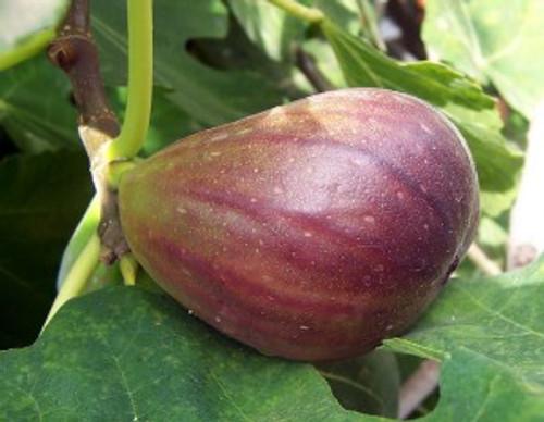 Preston Prolific Fig