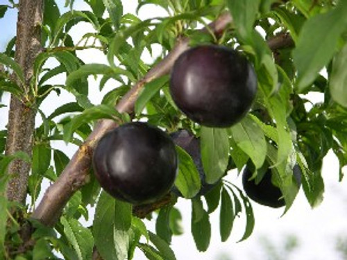 Black Amber Japanese Plum