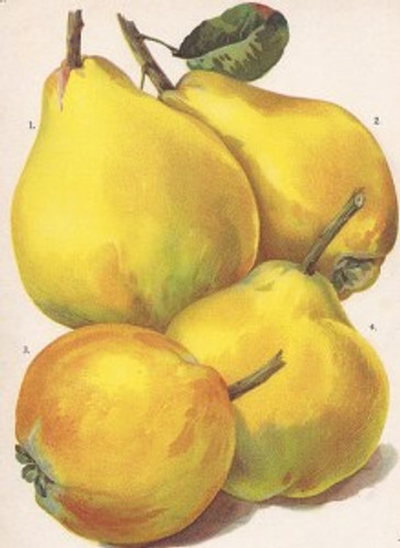 Rea's Mammoth Quince