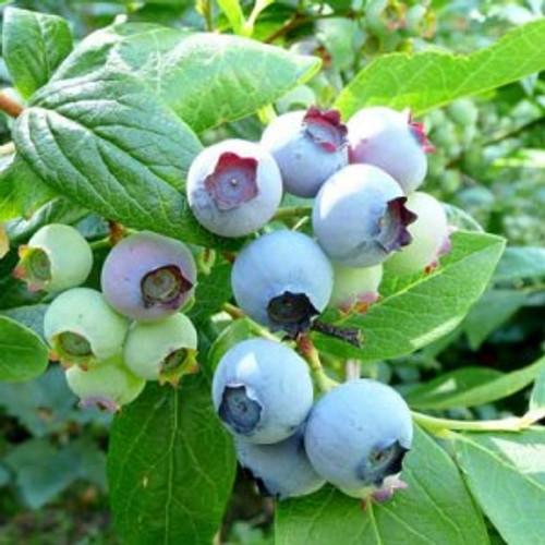 Blue Crop Blueberry